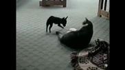 Малко куче краде килимчето на котка
