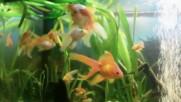 Шарени рибки