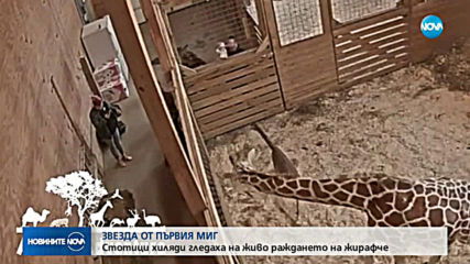 ЗВЕЗДА ОТ ПЪРВИЯ МИГ: Стотици хиляди гледаха на живо раждането на жирафче