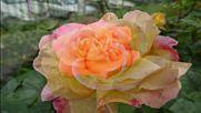 Лили Иванова Розата