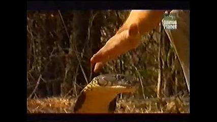 Остин Стивънс - кралска кобра