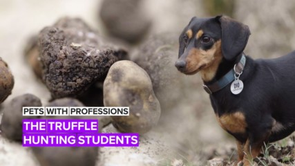 Pets with Professions: The doggy grads with a diploma in truffle hunting