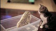 Коте се запознава с таралеж