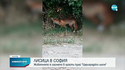 """Лисица се разхожда край """"Цариградско шосе"""" в София"""