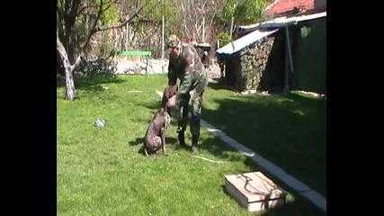 Курцхаарът Зори И Апортиране На Жива Птица - Академия Найк