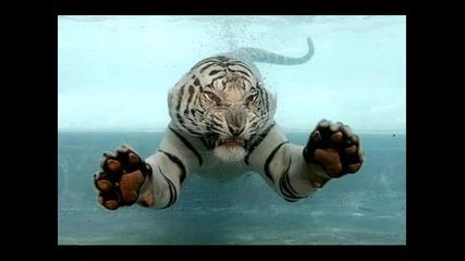 Малко информация за семeйство котки - тигри част 2