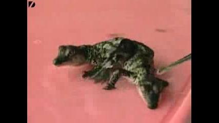 Удивително !!! Крокодилчета Сиамски Близнаци