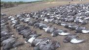 Избиване на гълъби