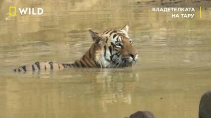 откъс от Владетелката на Тару | Месец на Големите Котки | NG Wild Bulgaria
