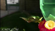 Изумителни колибри в бавен кадър *hq*
