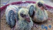 Еволюцията на гълъбите от яйце до гълъб