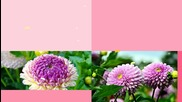 Сезонът на цветната красота - Dahlia ... ... (music Giovanni Marradi) ... ...