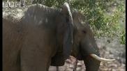 Ето как слоновете се охлаждат в пустинята!