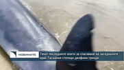 Текат последните опити за спасяване на заседналите край Тасмания стотици делфини гринди
