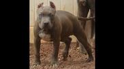 Кучето Питбул