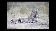 Леопард пълна информация