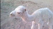 Камила бебе • Саудитска Арабия