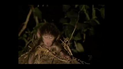 Леопард се грижи за бебе маймунче следкато е убил маиката