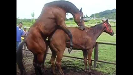Секс между коне