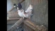 Гълъби От С.медовец 1