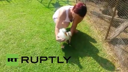 South Africa: Ozzie the goose gets a new prosthetic leg