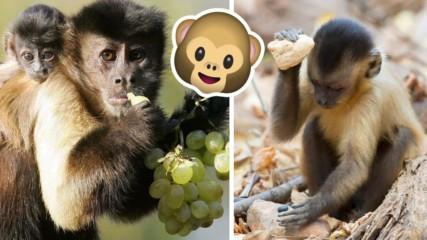 Те еволюират! Дребен вид маймунки влезе в Каменната епоха