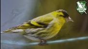 Птици - Скатия (carduelis spinus)