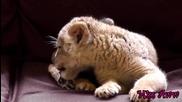 Сладко Бебе Лъв