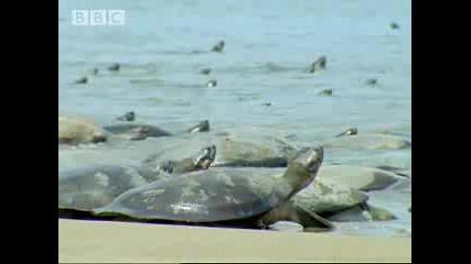 Bbc - Гигантските костенурки срещу Лешоядите