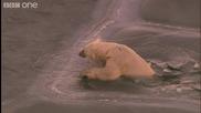 Полярните мечки и тяхния живот !