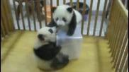 Бебета панди се борят и се забавляват