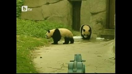 Панди ближат лед в жегите !