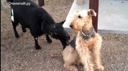 Смешен козел тероризира куче.