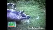 Unikalno - anakonda povrushta izqdenata jertva