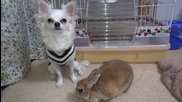 Чихуахуа и добрият приятел зайко