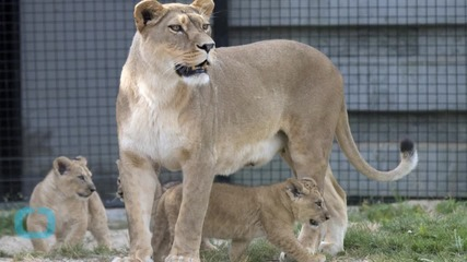 Paris Zoo Unveils Lion Cubs Born In the Park to Public