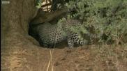 Леопарда - Най-неуловимата африканска котка ..
