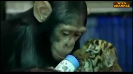 Maimuna hrani bebe tigur