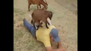 Козленца правят масаж на мъж .