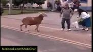 Как ритат животните