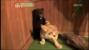 Мeче се уплашва от лъвче смях