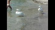 Два лебеда на плажа в Каварна