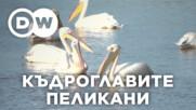 Пеликаните като бизнес партньори?