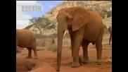 Wild African elephant with attitute - Bbc wildlife