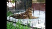 Тигърът се прозява