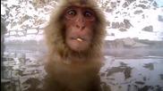Снежни маймунки и гореща вана