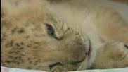 Роди се първият лилайгър в света