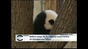 Бебето панда Фу Ху очарова посетителите на зоопарка във Виена