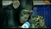 Маймунка храни малко тигърче