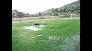 Арън - немска овчарка играе във вода